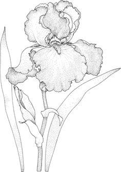 Fleur d'iris Coloriage