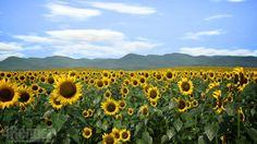 Sunflower Following Sun on Vimeo