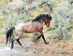 Scar, mustang stallion.........photographer, Phillip Adams