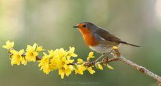Robin - Robin