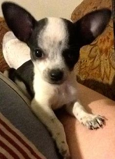 $125.00 each - Chihuahua puppy for sale