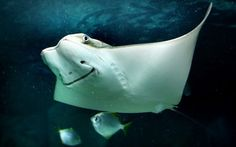 This smiling Cow Nose Ray is part of the new exhibit at Underwater World in…