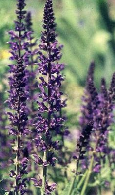 Mainacht bloeit al in mei met donkerviolette bloemen.