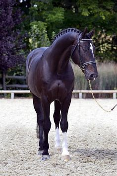 Judgement ISF (Consul/Akteur/Lucky Boy xx) KWPN - look at that chest cleavage ; All The Pretty Horses, Beautiful Horses, Animals Beautiful, All About Horses, Majestic Horse, Horses And Dogs, Black Horses, Mundo Animal, Horse Pictures