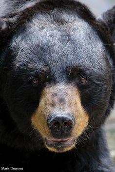 Cincinnati Zoo, Black Bear, Wild Animals, Bears, Aquarium, Faces, Photo And Video, Gallery, Brown