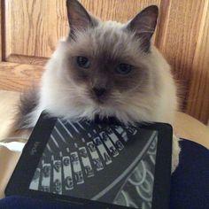 Lizzie Cat | Pawshake