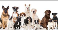 Köpek cinsleri, ırkları ve resimleri