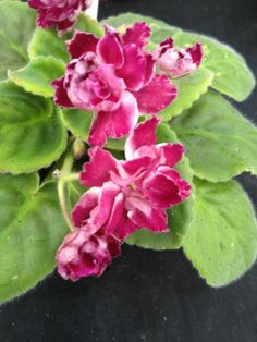 African Violet Plant- Frosty Cherry