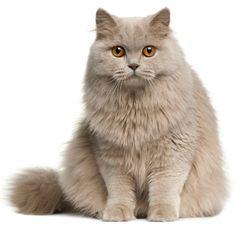 BRITSE LANGHAAR / BRITISH LONGHAIR CAT