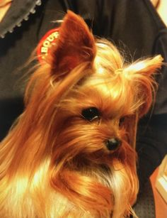 More About Yorkshire Terrier Puppy Funny Source by ameersellers The post Yorkshire Terrier Puppy Shih Tzu appeared first on Stubbs Training. Yorky Terrier, Yorshire Terrier, Bull Terriers, Yorkshire Terrier Haircut, Yorkshire Terrier Puppies, Cute Puppies, Dogs And Puppies, Corgi Puppies, Teacup Yorkie