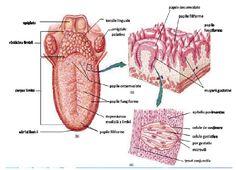 Receptorii gustativi Acupressure Points, Human Anatomy, Nursing, Ale, Mindfulness, Notes, Study, Medicine, Culture