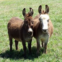 Miniature Donkeys | Some of Pam's miniature donkeys