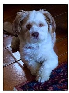 Los Angeles, CA - Lhasa Apso Mix. Meet Elmo (Courtesy Post), a dog for adoption. http://www.adoptapet.com/pet/13712421-los-angeles-california-lhasa-apso-mix