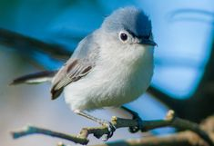 This is a Blue - Gray Gnatcatcher. I saw one like this on our window sill this last spring, they winter in warmer climate and are known to pass through North Carolina while returning to Michigan for the summer. It is the sweetest looking bird.