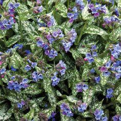 Pulmonaria+longiflora+'Bertram+Anderson'+('Bertram+Anderson'+lungwort