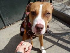 TO BE DESTROYED - 03/26/15 Manhattan Center   My name is CHERRY. My Animal ID # is A1030976. I am a female brown and white pit bull mix. The shelter thinks I am about 2 YEARS   I came in the shelter as a STRAY on 03/22/2015 from NY 11223, owner surrender reason stated was STRAY. https://www.facebook.com/photo.php?fbid=982951095051103