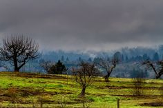 Old apple orchards at Forestville, Sonoma County, CA, USA
