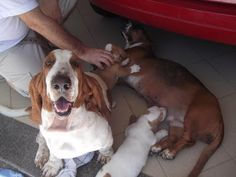 Familia Basset Hound: Dicas para criar e ter um Basset Hound em casa