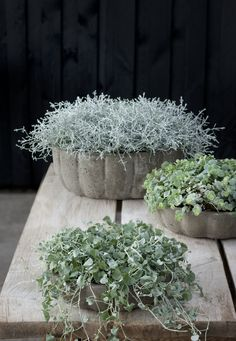 silver foliage indoor plants (Calocephalus brownii at back) Container Flowers, Container Plants, Container Gardening, Outdoor Pots, Outdoor Gardens, Silver Plant, Seaside Garden, Deco Floral, Foliage Plants