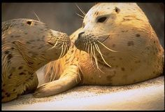 #Seals   Two Seals touching noses