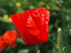 A poppy on Pilgrims way , Wouldham in Kent