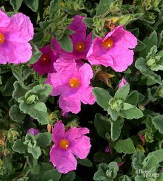 Sunset Rock Rose is a is a drought-tolerant, evergreen shrub blooming in summer with bright pink flowers and will add beautiful color to your garden. Blooms best in full sun. Grows feet tall x wide. Moss Phlox, Spanish Lavender, Evergreen Groundcover, Low Growing Shrubs, Rock Rose, Planting Roses, Flower Gardening, Fruit Garden, Vegetable Gardening