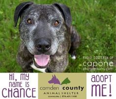 Petango.com – Meet Chance, a 7 years 1 month Terrier, Pit Bull / Mix available for adoption in BLACKWOOD, NJ