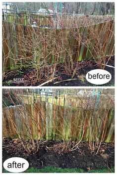 Pruning blueberries in late winter results in higher quality fruit and healthier plants. Discover step-by-step how to prune your blueberry bushes. Pruning Blueberry Bushes, Prune Fruit, Pruning Fruit Trees, Trees To Plant, Blueberry Plant, Blueberry Farm, Blueberry Bush Care, Vegetable Garden Planner, Vegetable Garden Design