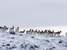 pronghorn - Google Search