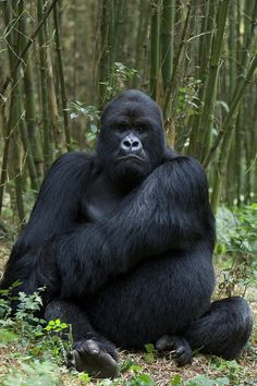 Gorilla, just awesome