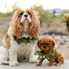 Little Lola (was frenchie) and her new big sister Charlotte ❤️😘 how beautiful are these pics!? Wow.... @makeithappenphotography  @krlofstedt 🍒🍒email us now @ rockabillycavaliers@gmail.com ❤️❤️ #coolestdog #dogs#rockabilly #rockabillycavaliers #cav #cavs #cavalier #cavaliers #cavalierkingcharlesspaniel #dog #doglover #dogsofinstagram #puppy #puppylove #animallovers #follow #bestoftheday #picoftheday #instalike #beautiful #family #followme #life #love #rockabillylifestyle