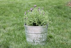 DIY galvanized planters full of lavender - keeps mosquitos at bay!
