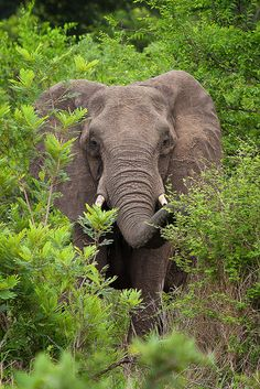 Elephant Behind Trees : Kruger National Park, South Africa : Ken Koskela Photography