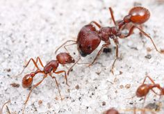 Worker Ant Vs Soldier Ant 1000+ images about for...