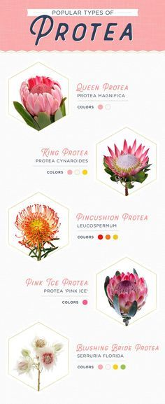 Wedding Bouquets 11 Protea Ideas for your Wedding - Protea flowers are the perfect way to make a statement at your wedding. King protea, queen protea and pincushion protea are some of the most popular. Flor Protea, Protea Plant, Protea Bouquet, Protea Flower, Peonies Bouquet, Boquet, Protea Wedding, Flower Shops, Tropical Flowers