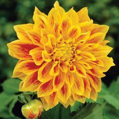 Dahlia Explosion|Woolmans Flower Plants