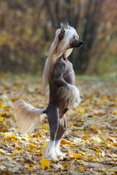 Chinese Crested-