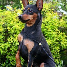 Miniature Pinscher Puppy & Miniature Pinscher Breed Information