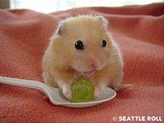 Un hamster muy molón