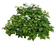 Hydrangea Bush.. by WelshDragonStockNArt on DeviantArt