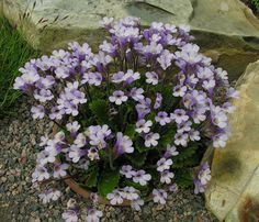 Haberlea rhodopensis - one of my personal favourites and this is a lovely example