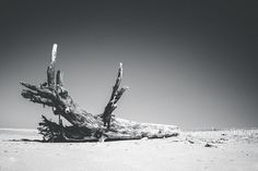 Dead tree on the beach ... #fujix #fujifilm #fujilove #fujifilmxt1 #xseries #xt1 #fujiholics #fujifeed #myfujifilm #fujinon #fujixclub #fujifilmfrance . . . . #igersnantes #pascalfeliciteLANDSCAPE #photooftheday #beautiful #picoftheday #bestoftheday #all_shots #love #photo #amazing  #outdoor #landscapephotography #landscape_captures #landscape #nature #blackandwhite #tree #beach