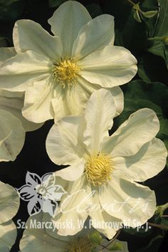 Clematis 'Lemon Chiffon' For the west, east, or north side of house Clematis Plants, Clematis Vine, Garden Plants, Exotic Flowers, Yellow Flowers, Beautiful Flowers, Pergola Pictures, Climbing Vines, Flowering Vines