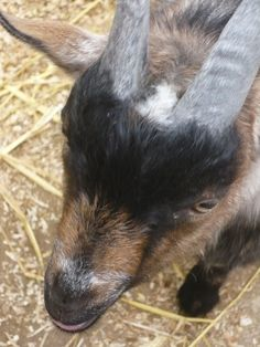 Little Fred the Pygmy goat