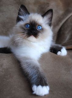 Blue eyed fluffy Siamese cat - sporting a slightly arrogant look.