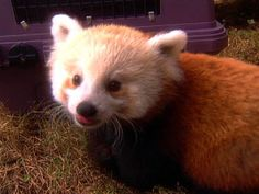 Videos for Kids -- National Geographic Kids National Geographic Channel, National Geographic Kids, Fun Fact Friday, Red Panda, Kids Videos, Cartography, Pets, Mythology, Fun Facts