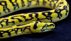 Another picture of a Jungle Jaguar Carpet Python. Definitely one of my favorite snakes. I am going to get one of these soon!