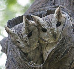 Collared Scops Owl (Otus lettia) in India by Wim de Groot. visit ╰▶ The world of birds Beautiful Owl, Animals Beautiful, Cute Animals, Nocturnal Birds, Owl Pictures, Owl Photos, Owl Bird, Tier Fotos, Pretty Birds