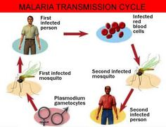 Malaria Transmission Cycle [Image] #mosquitomagnet #dreamyard