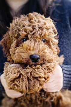 Goldendoodle - this might have to be my next dog
